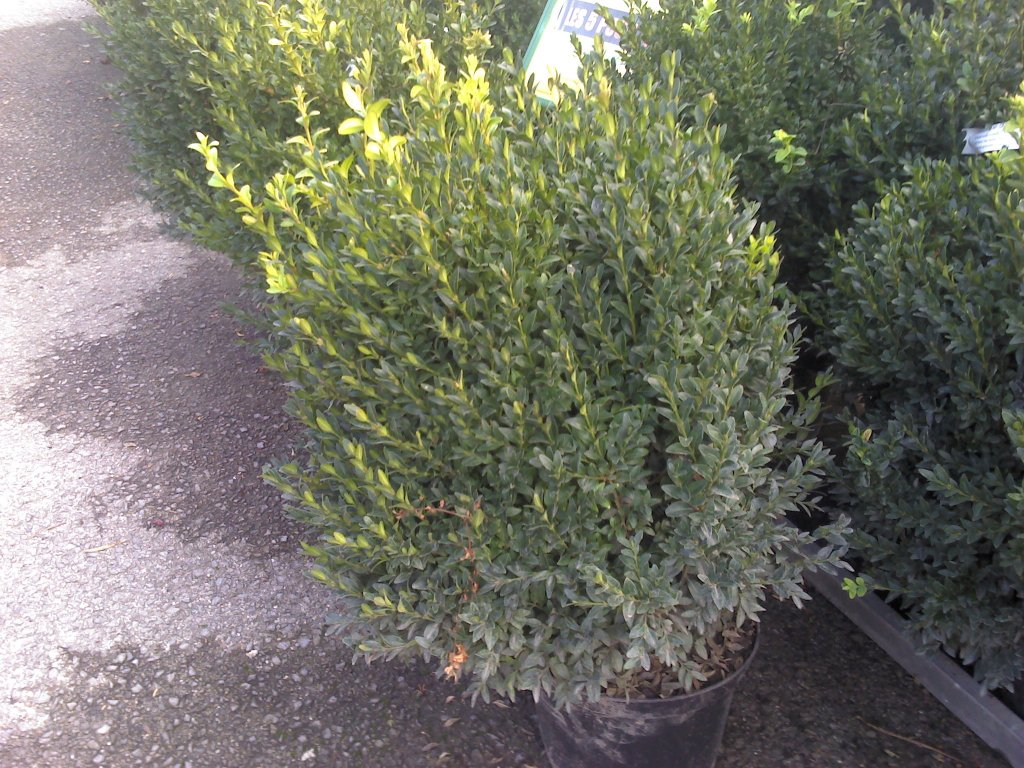 Buxus sempervirens touffe C60/+