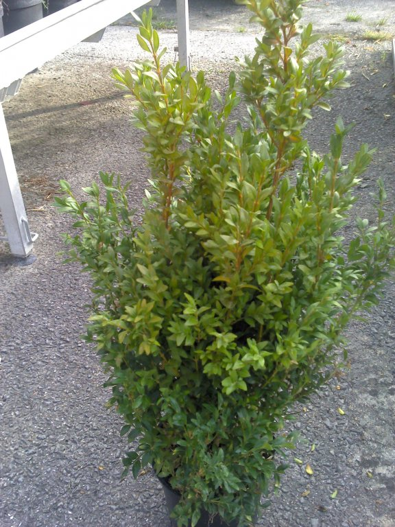 Buxus sempervirens touffe C40/+