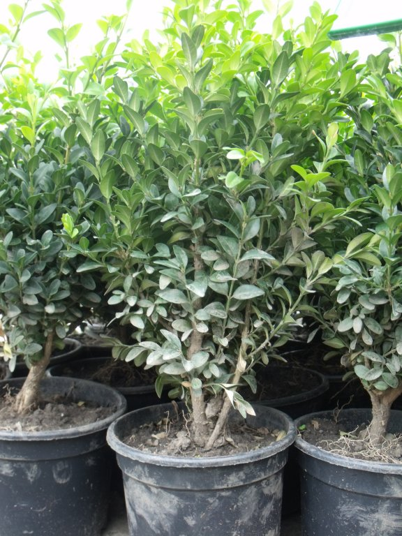 Buxus sempervirens touffe C30/+