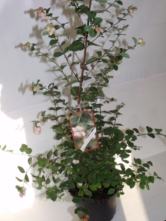 Symphoricarpos mother of pearl C3L 60/+
