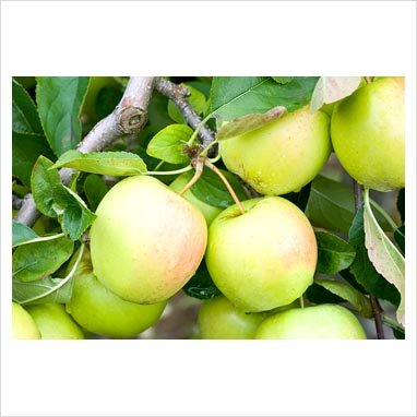 Malus golden delicious buisson RN