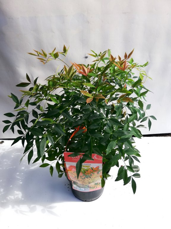 nandina domestica magical sunrise C3L 25/+
