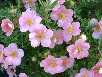Potentilla fructicosa Lovely Pink