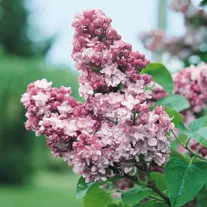 Syringa vulgaris 'Belle De Nancy' C5L
