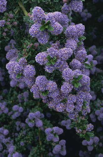 ceanothus plantes arbres haies arbustes plantes. Black Bedroom Furniture Sets. Home Design Ideas